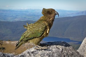 Endangered New Zealand kea, world's only alpine parrot